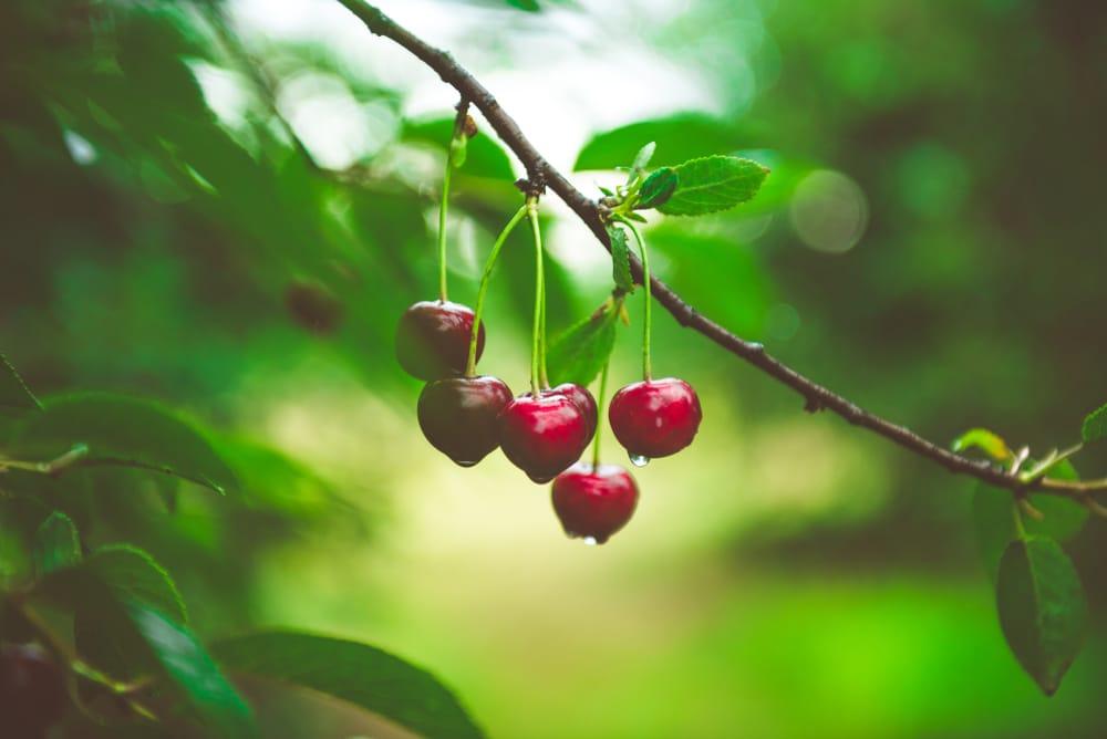 hood river cherries